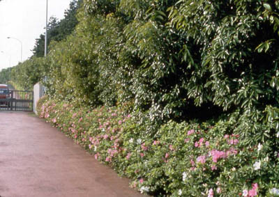 *Same place after 3 years Trees grew 3 meters. Shrubs with flowers were planted as a forest margin community.(May. 1981)