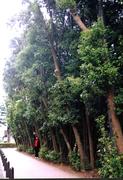 *A 1-meter wide forest belt (a path before the office of Yokohama National Univ.